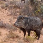 The real deal - wild javelina