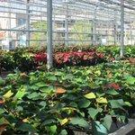 Amazing varieties of poinsettias