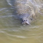First time we have ever seen a chubby manatee at Jensons Marina,