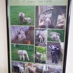 Poster of their baby lambs from last spring