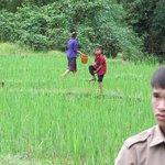 Las plantaciones de arroz