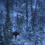 A Moose hiding in the trees.