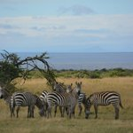 Zebra meeting ....
