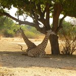 Giraffes resting in the shade during the heat of the day
