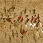 Section of the Carmine Bee-eater colony
