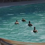 ducks taking a dip in one of the hotel pools