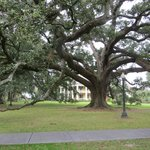 Beautiful 500+ year old live oaks