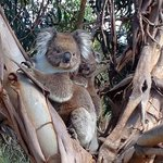 Koala and baby photo taken with Iphone on walk to beach