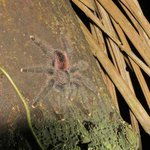 A tarantula encountered on a night walk.
