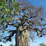 Baobab de plus de 1000 ans au cœur du camp.