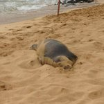 a young monk seal