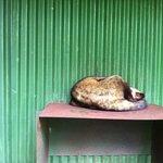 Sleeping Luwak