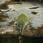 Aligator von hinten