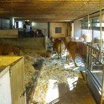 Kuhstall Bauernhof