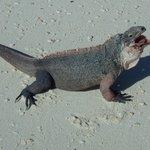 Iguana or baby dragon
