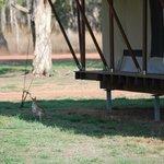 wallaby sotto la nostra tenda