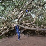 Yew Trees at Crom