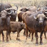 Ochtendsafari - Buffels