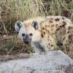 Avondsafari - Hyena