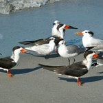 Black Skimmers, Royal Terns & Laughing Gulls