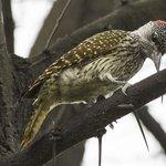 cardinal woodpecker at Sefapane Lodge
