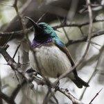 white bellied sunbird at Sefapane Lodge