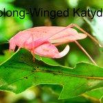 Cool pink Katydid