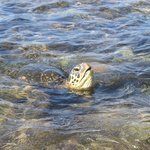 A turtle right in the bay.  One of many.