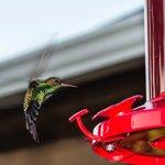 Thriving hummingbird population!