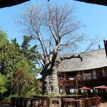 Baobab tree in courtyard