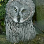 One of the exotic owls bred at Cotswold Falconry.
