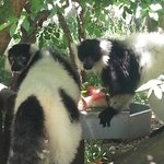 Black + white ruffed lemurs