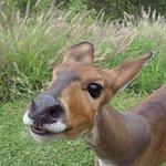 Resident Bush Buck