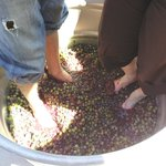 Grape Stomp!!