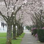 Cherry tree lined walk