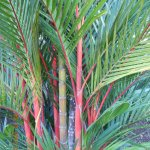 Red Palm Tree on the grounds