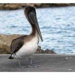 Pelicans wait for fish