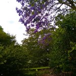 Pretty jacaranda trees in the garden