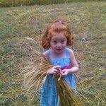 My daughter gathering wheat to bundle.