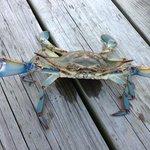 Beautiful Chesapeake Bay Blue Crab