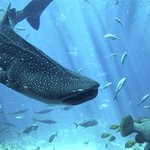 Whaleshark in Cancun