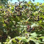 Powell River's famous blackberries on the old golf course