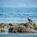 Eagle and Blue Heron Fishing Parksville Beach