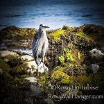 Blue Heron on the beach in Parksville