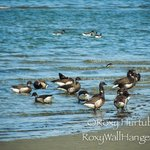 Brant Geese on the beach in Parksville