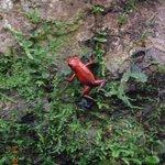 Ranita roja en el sendero del lodge