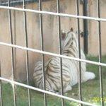 White Tiger-Hazar