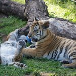 Seaview Lion and Tiger Park - filhotes