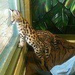 Serval kittens!