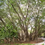 Years old Banyan Tree